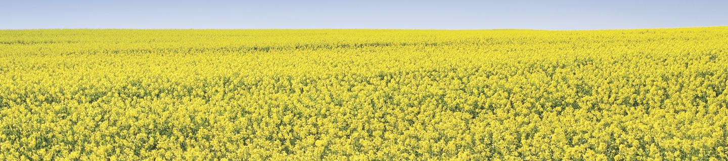 Yellow canola field in bloom