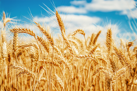 Wheat is the main cereal crop in India