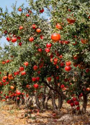 Pomegranates need crop nutrients for satisfactory growth & quality harvest.