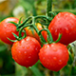 Tomato is grown almost in all states of India and is grown throughout the year.