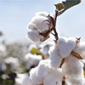 Growing Cotton in India