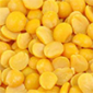 Pigeon Pea is an erect, short-lived perennial leguminous shrub.