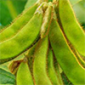 Growing Soybean in India