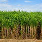 Growing Sugarcane in India
