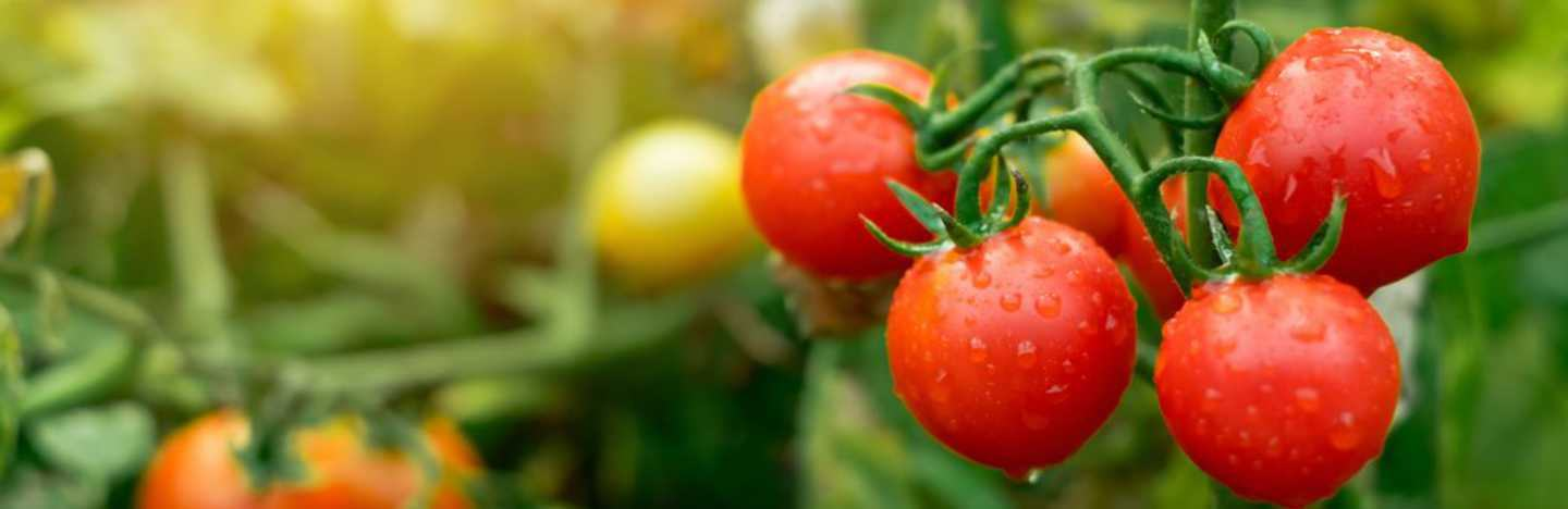 FMC offers a robust portfolio of Crop Protection & Nutrition solutions for Tomato.