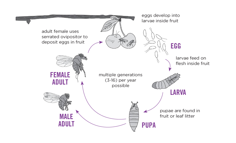 Spotted Wing Drosophila Life Cycle