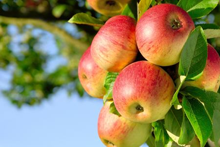 Ripe apples on a tree.