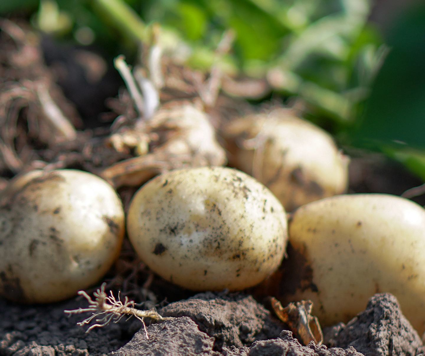 Close up of potatoes in field