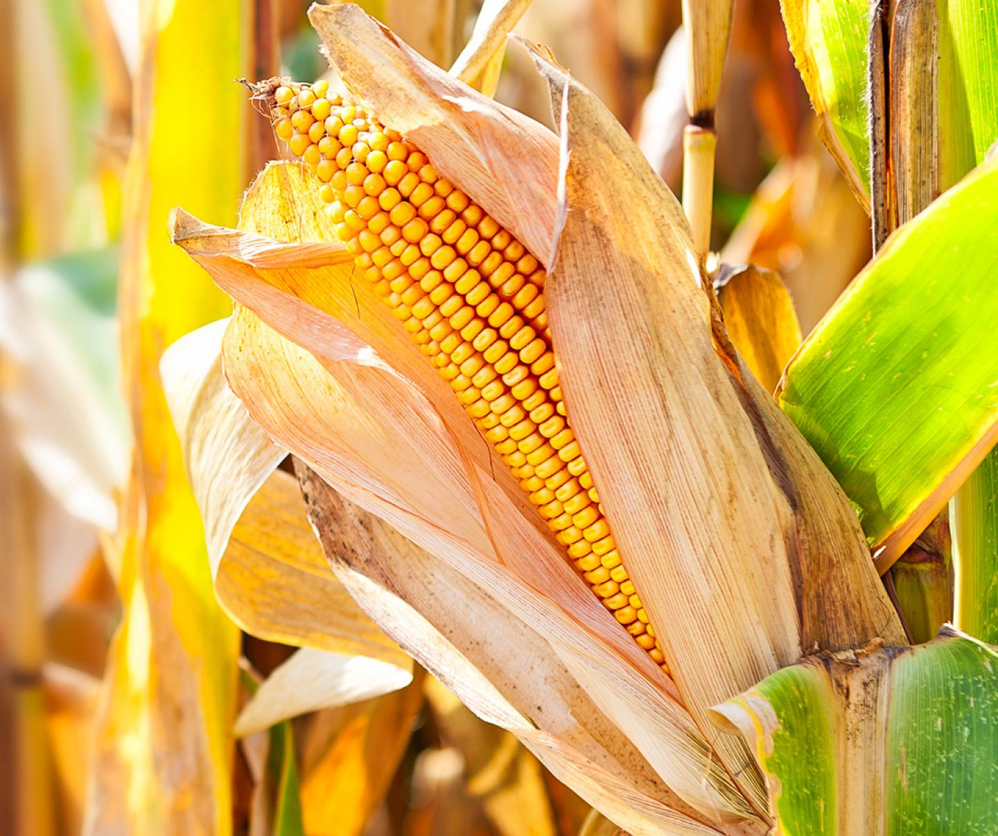 Close up of corn in field