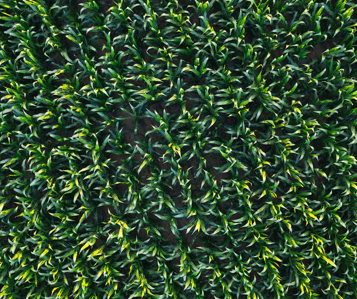 Aerial shot of corn crop