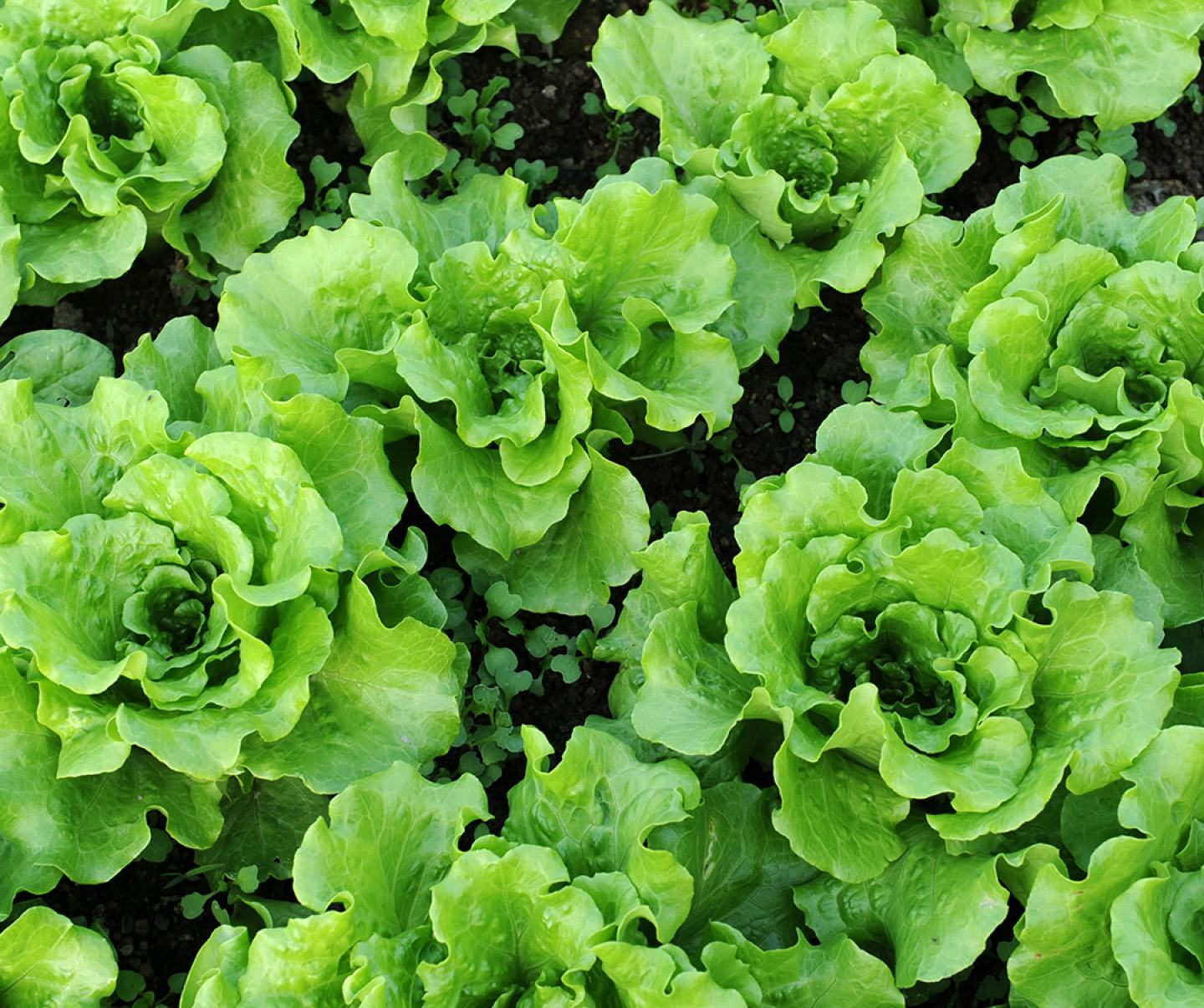 Close up of leafy lettuce