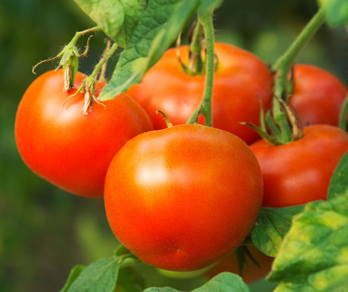 Close up of tomato crop