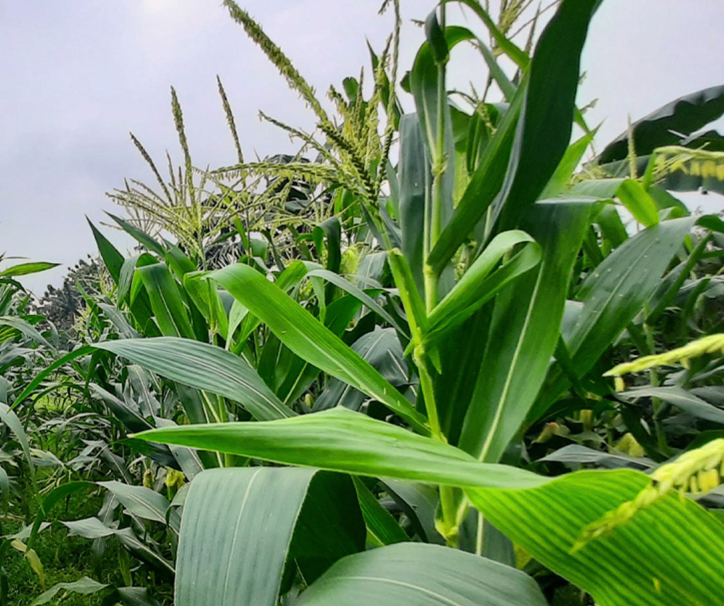 Close up of corn crop in field