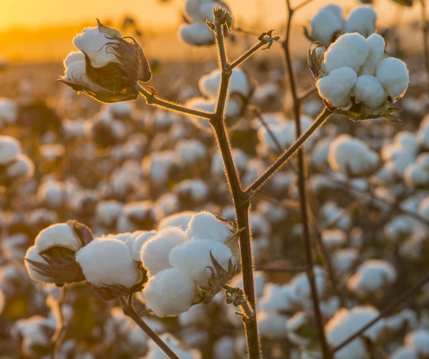 Close up of cotton crop