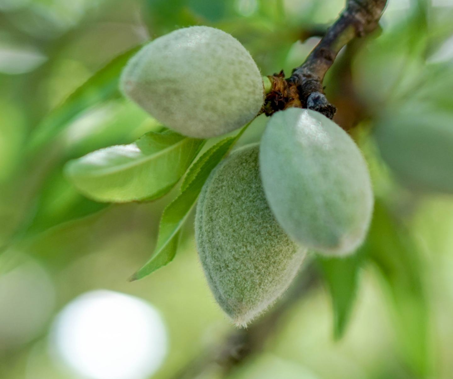 Close up of almond crop