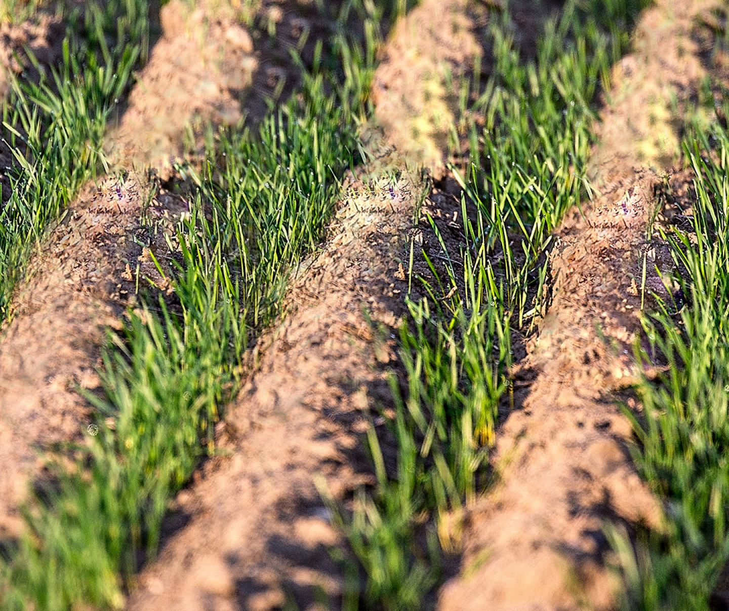 Close up of winter wheat