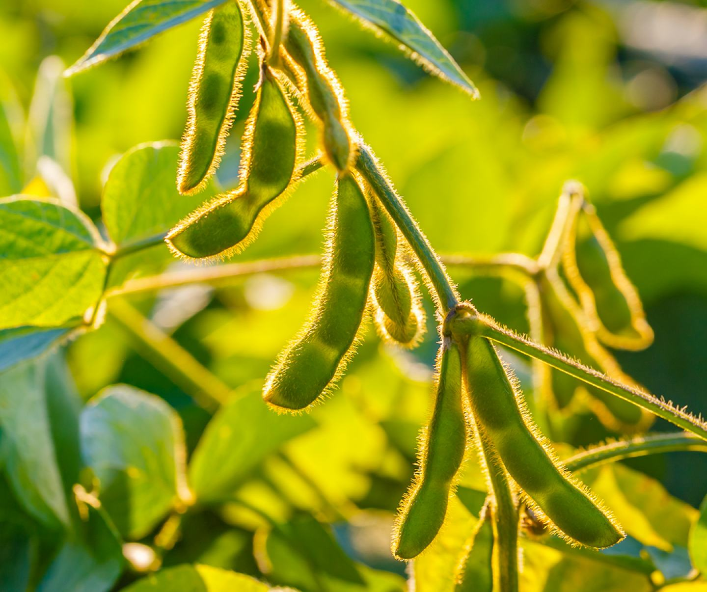 Close up of soybean pods