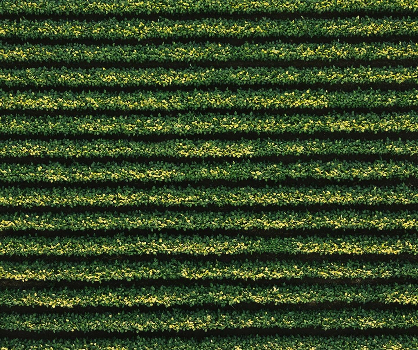 Aerial view of soybean rows