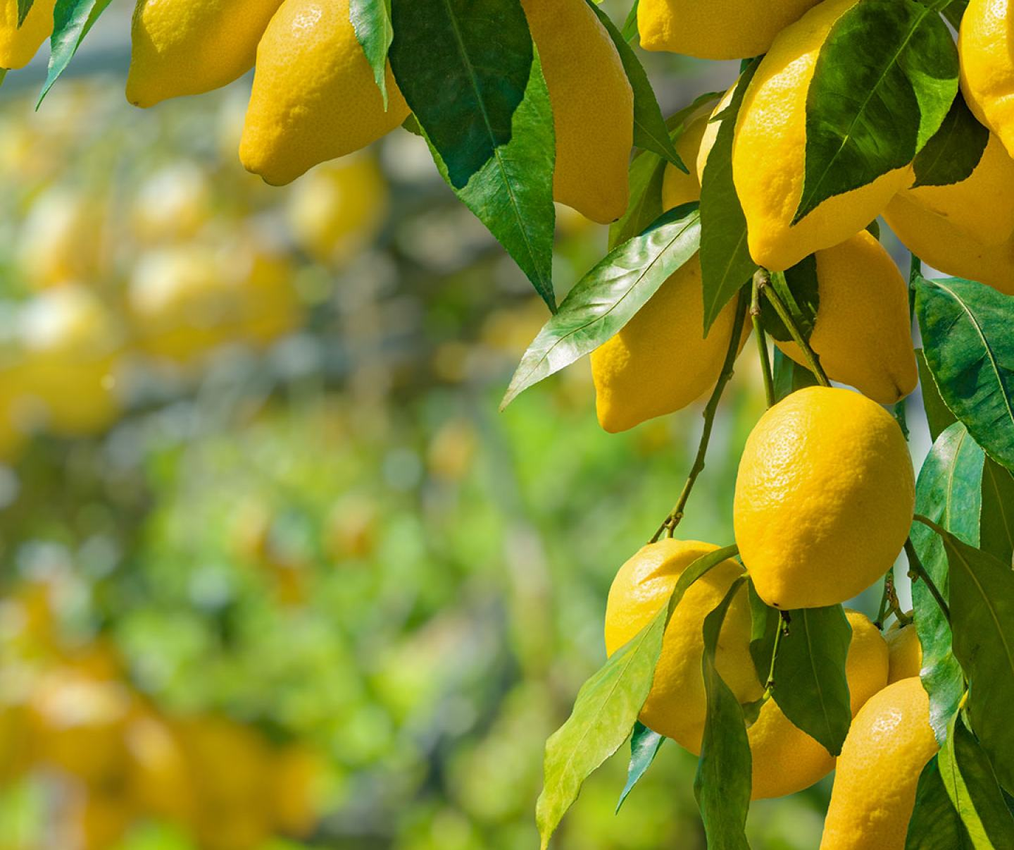 Close up of lemon citrus tree