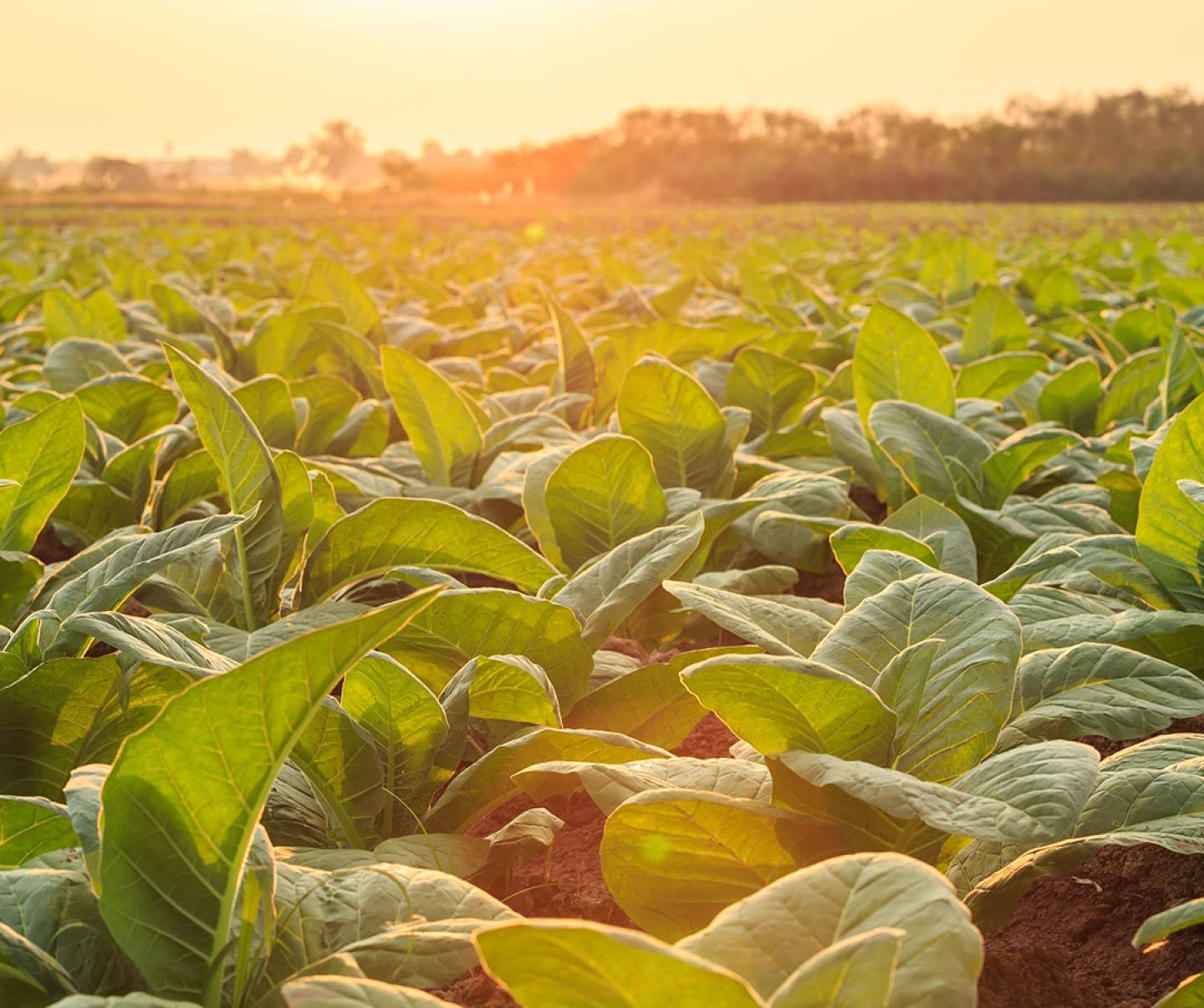 Tobacco field at sunset