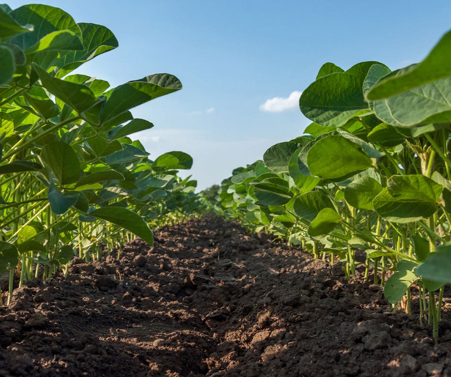 Close up of soybean row