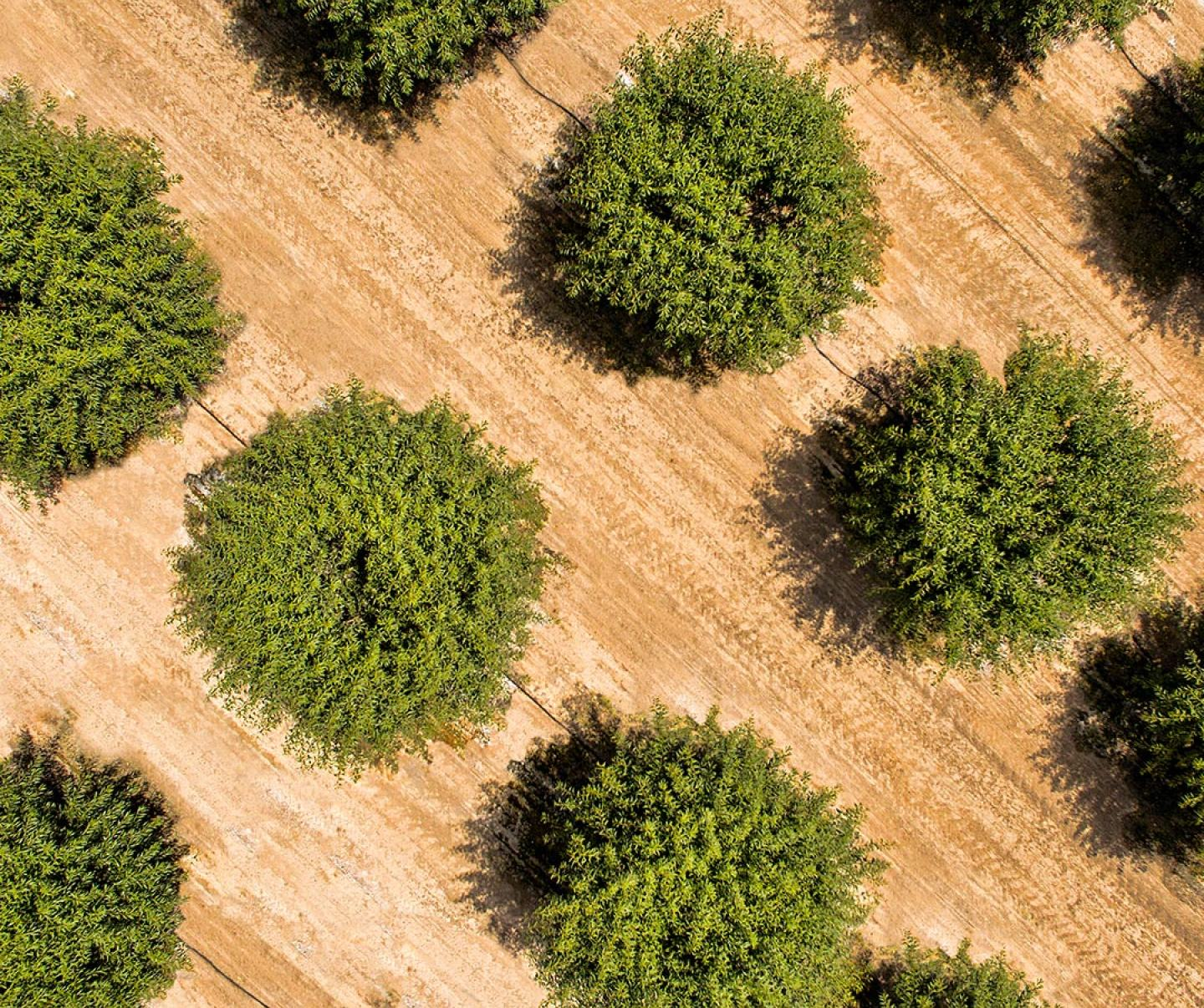 Aerial of almond trees in field