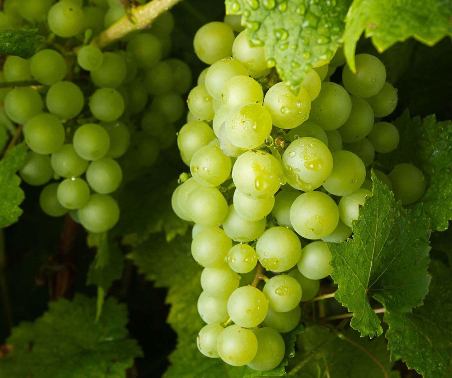 Close up of green grape crop