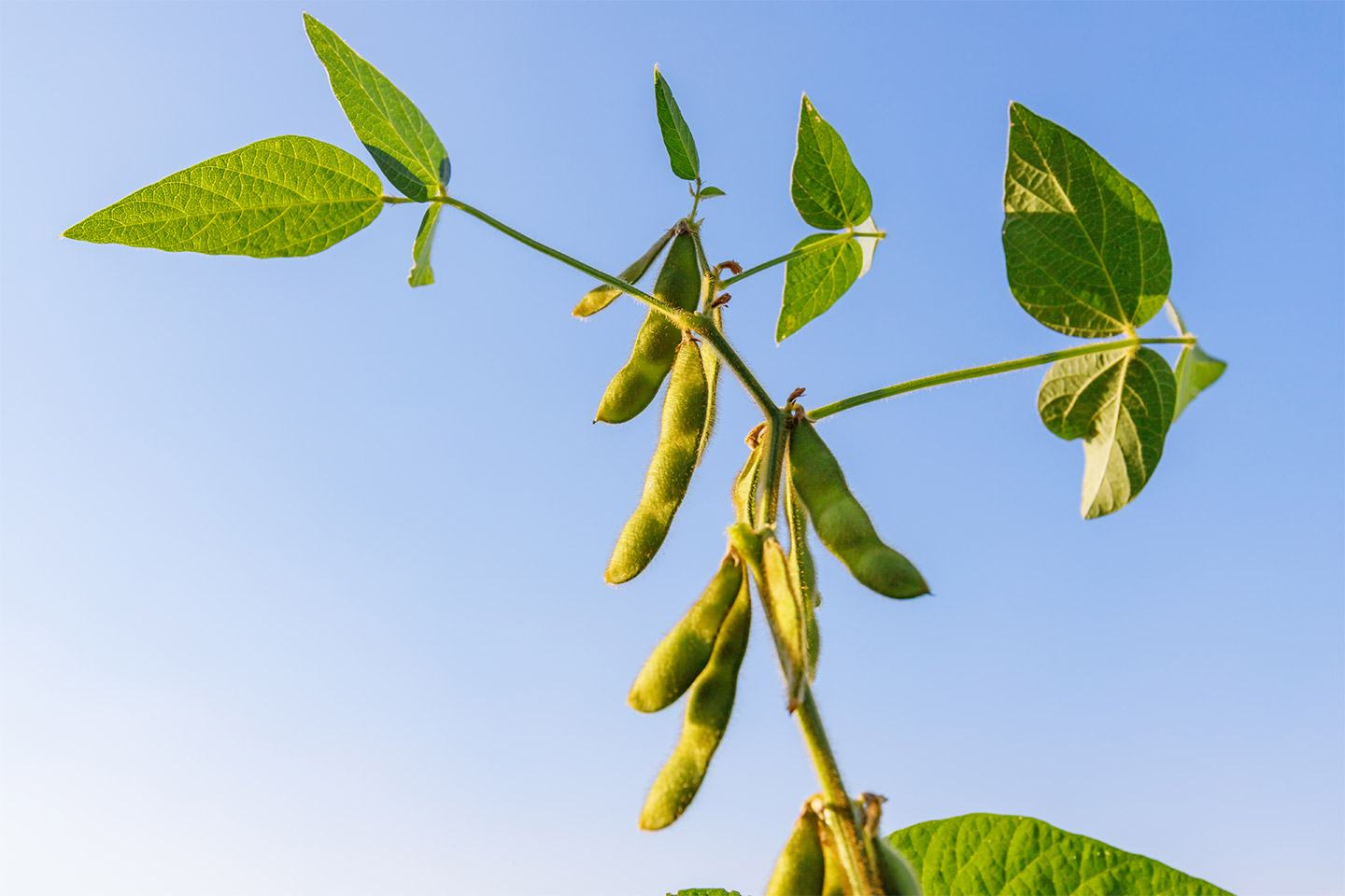 Soybean plant with sky