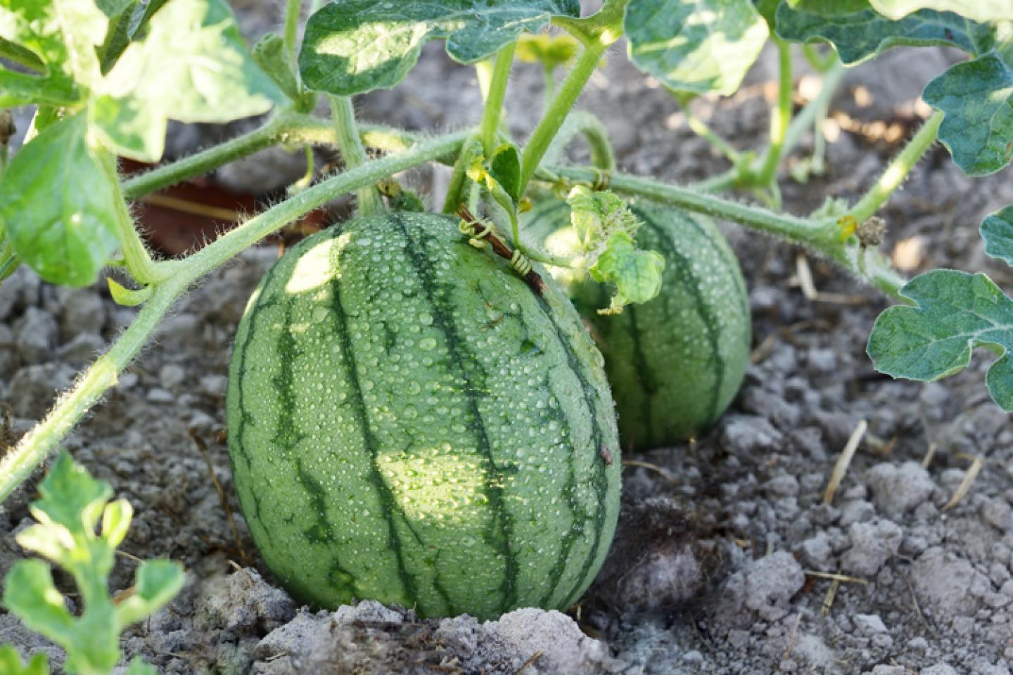 Rhyme Fungicide Available on Watermelons