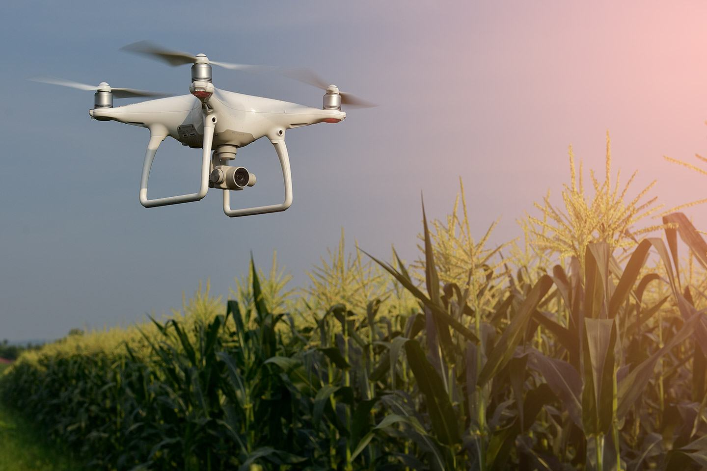 Drone flying over corn field