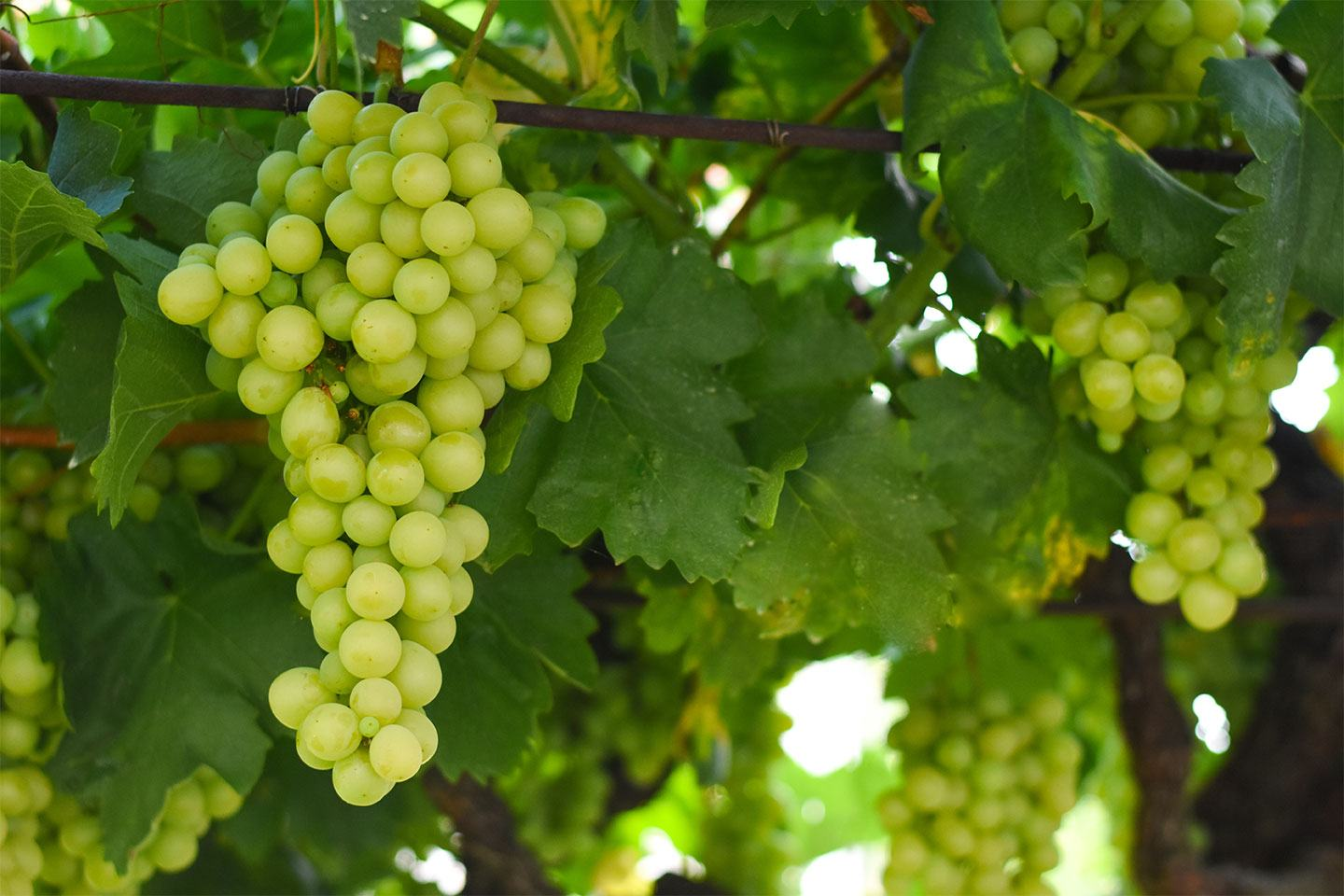 FMC Good to Grow grapevine trunk disease
