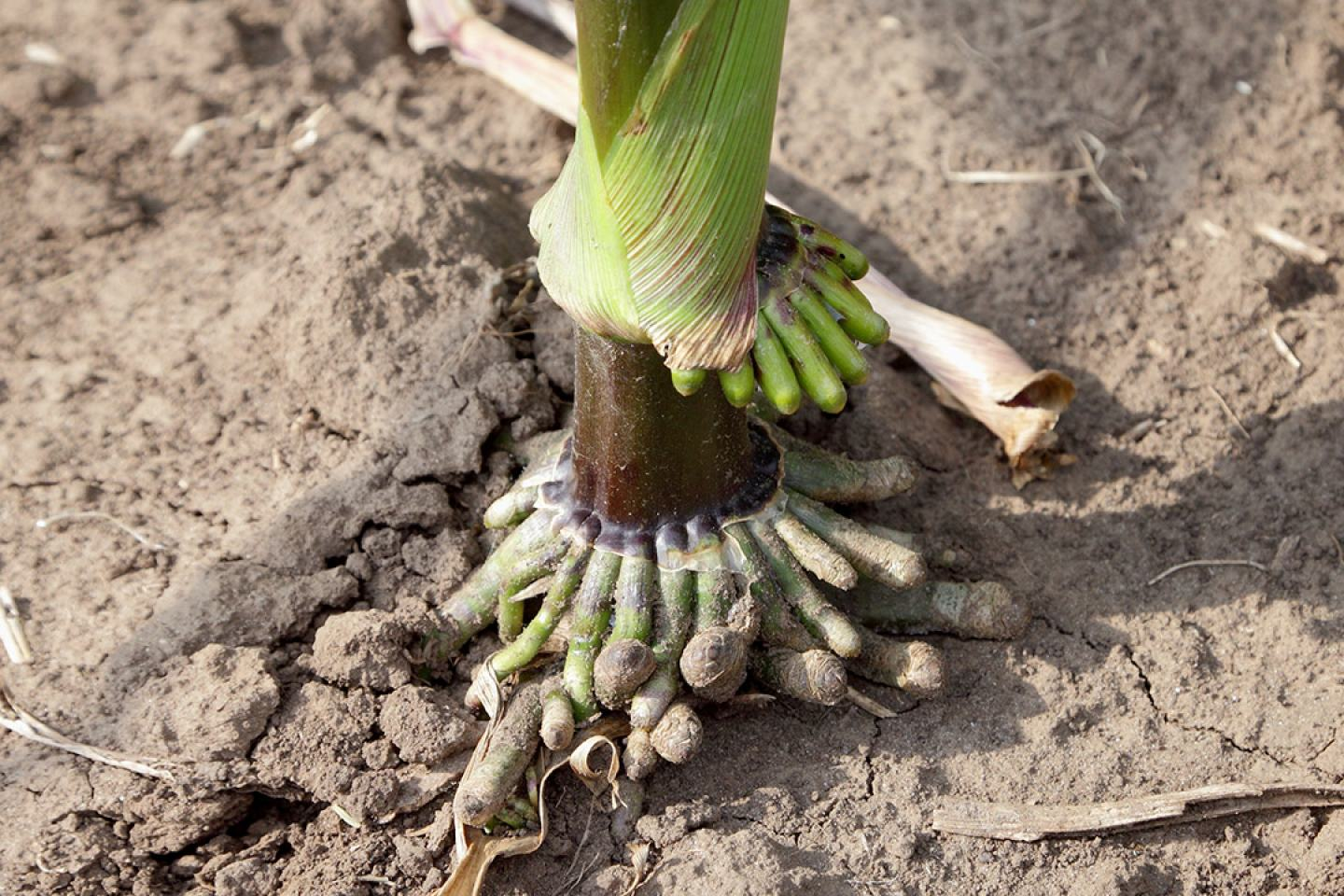 Close up of corn roots