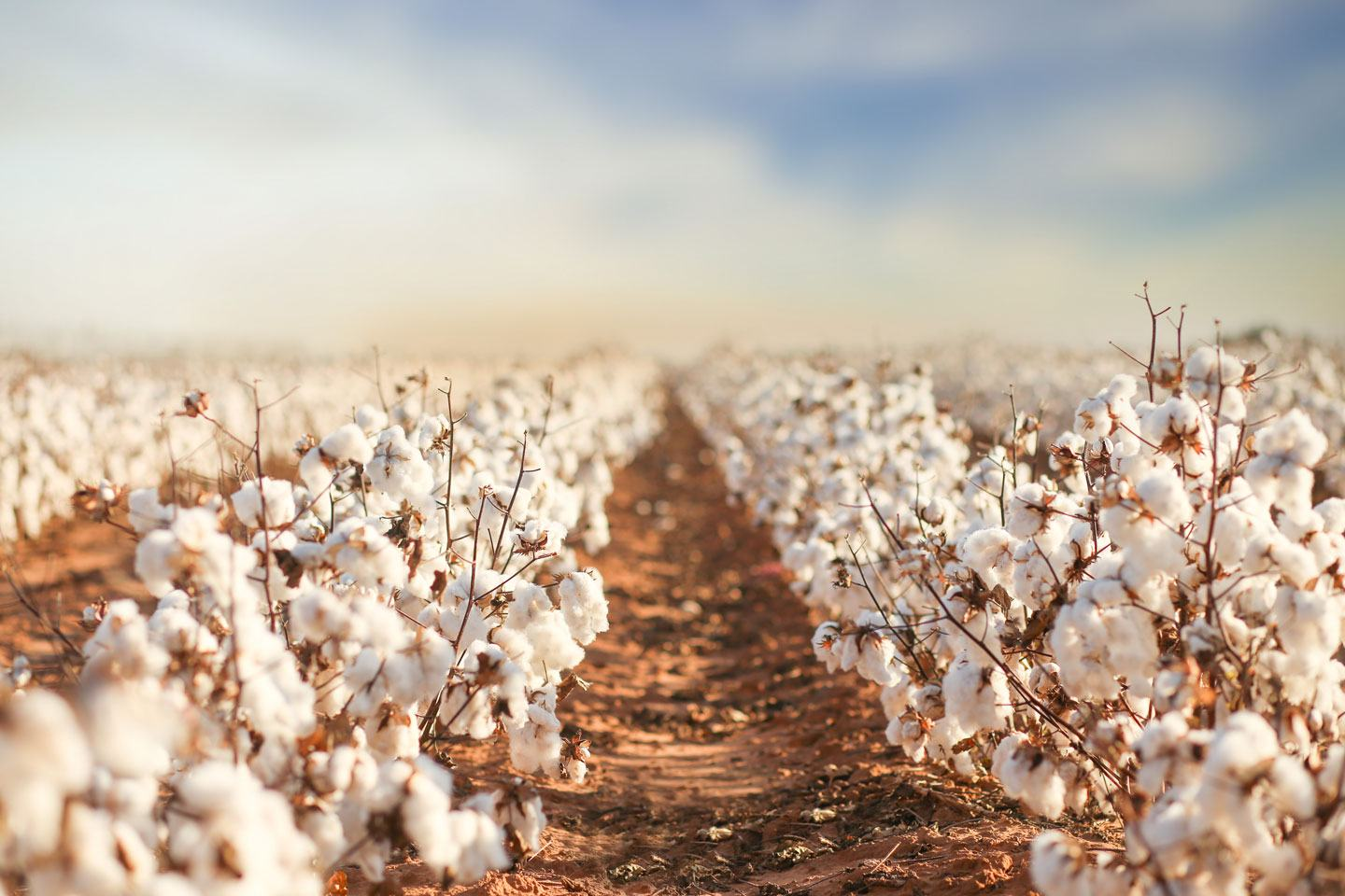 Cotton Defoliation With Display Cotton Defoliant