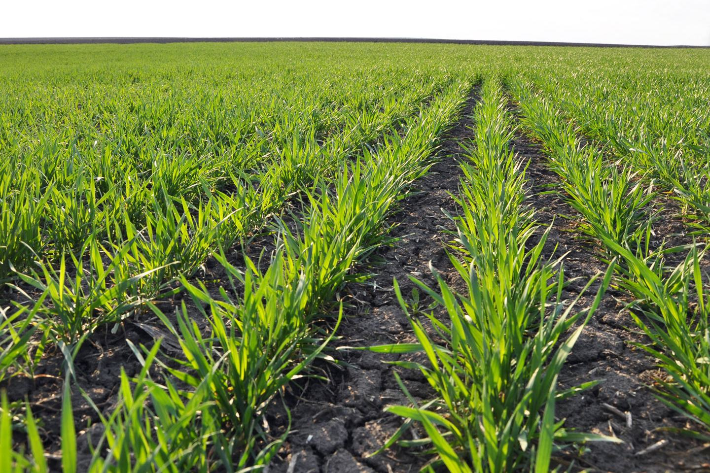 Irrigated Wheat Anthem Flex Herbicide