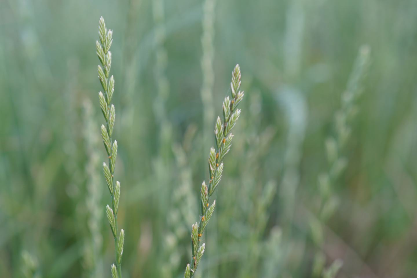 Close up of ryegrass