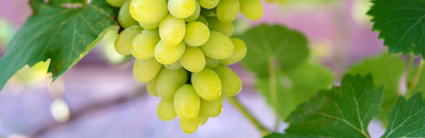 Green grape crop