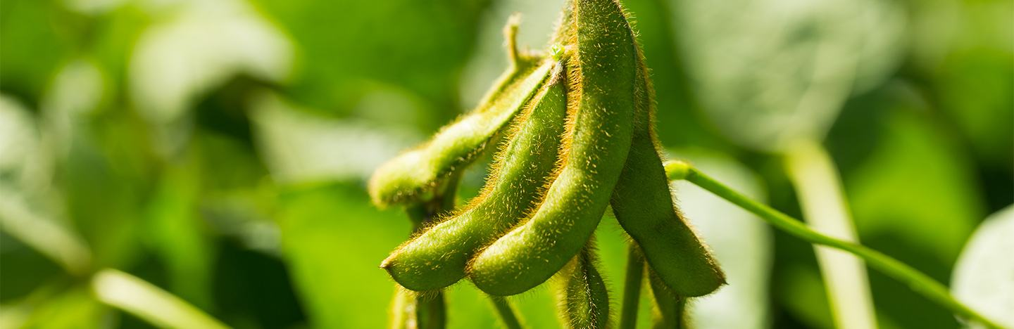 Soybean crop close up