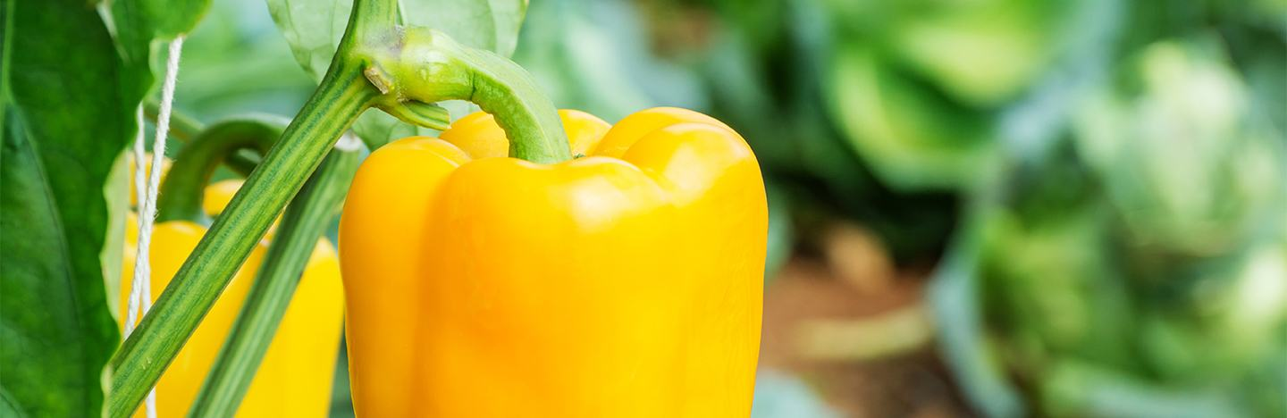 Close up of yellow pepper in field
