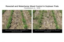 Marestail and Waterhamp Weed Control in Soybean Trials