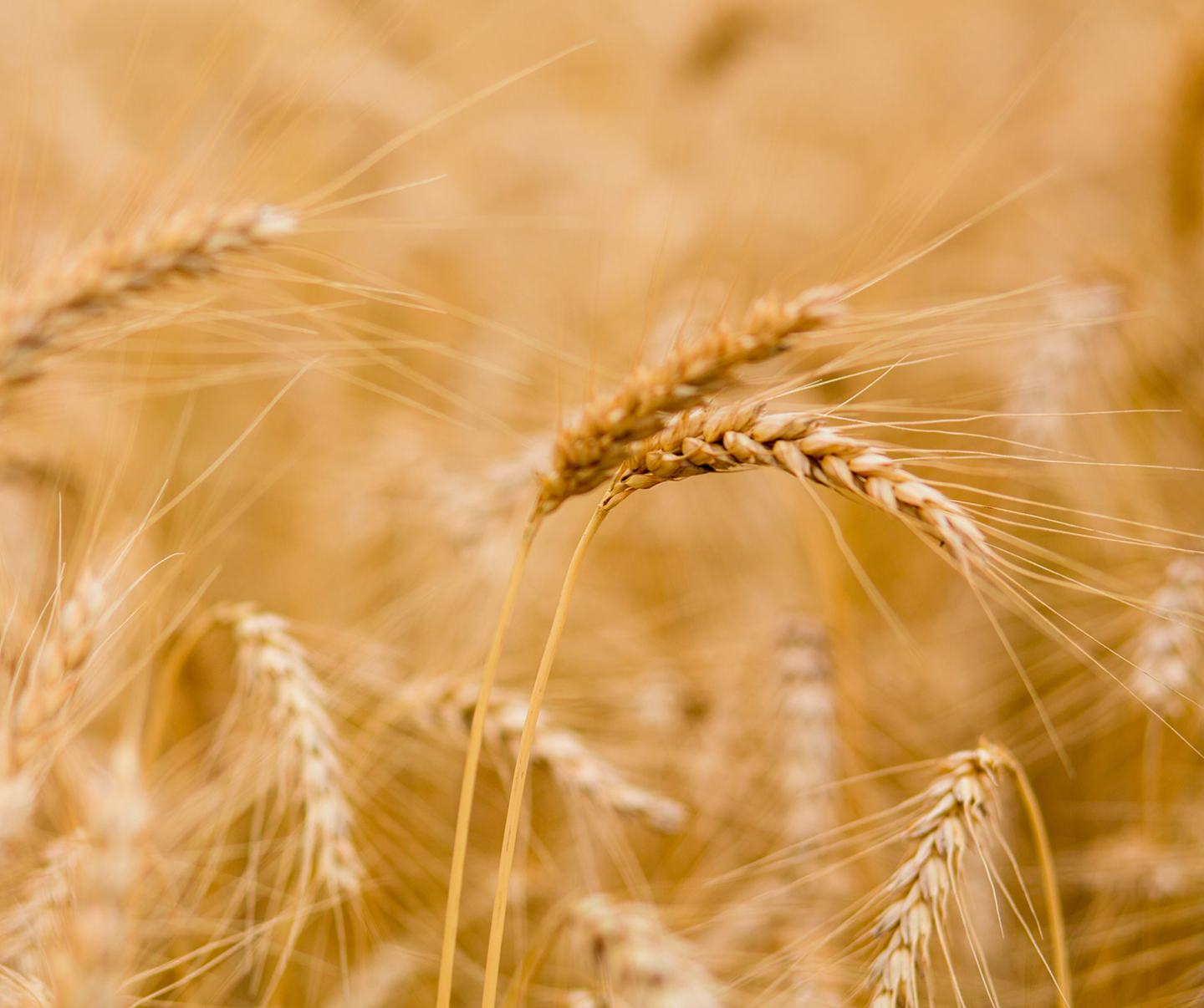 golden wheat in field
